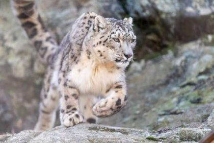 First-ever Snow Leopard Survey